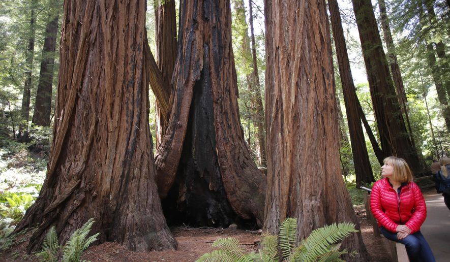 In this May 29, 2015 photo, Emily Burns, the Director of Science with Save the Redwoods League, sits near a cluster of Redwoods at the Muir Woods National Monument, in Mill Valley, Calif. An analyst has found that the tallest redwood tree in Muir Woods, at center, is 777 years old.  (Michael Macor/San Francisco Chronicle via AP)  MANDATORY CREDIT PHOTOG & CHRONICLE; MAGS OUT; NO SALES