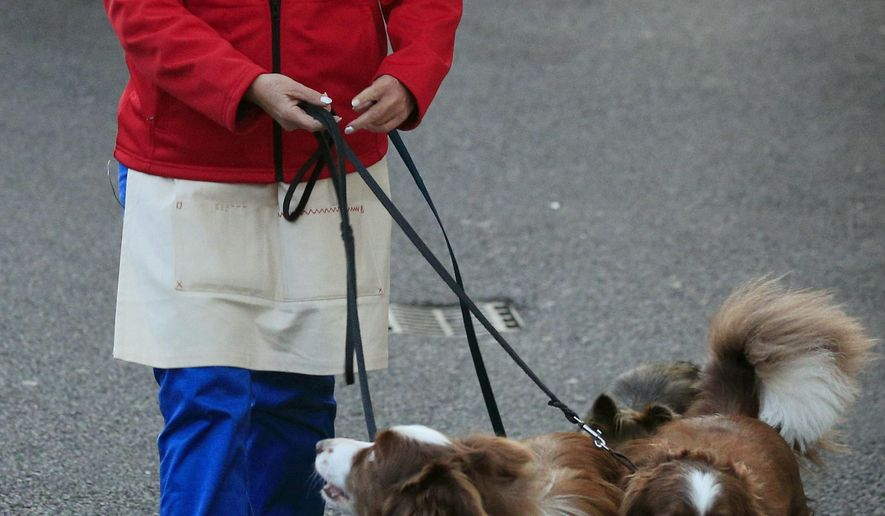 """FILE - In this May 26, 2015 file photo, Jules O'Dwyer  walks with her dogs including Matisse, outside Fountain Studios in Wembley, north London. Producers of the popular """"Britain's Got Talent"""" TV show and the dog trainer who won the competition are coming under fire after a """"doggie double"""" was used to perform a trick. Border collie Matisse was replaced by a lookalike dog for a tightrope-walking sequence during the routine in Sunday night's live final. Producers Tuesday, June 2, 2015 apologized to viewers who may have been unaware that trainer Jules O'Dwyer was using a team of dogs. (Jonathan Brady/PA via AP, File)  UNITED KINGDOM OUT"""