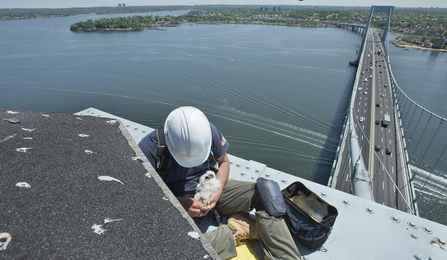 In this May 29, 2015 photo provided by the Metropolitan Transportation Authority, New York City Department of Environmental Conservation research scientist Chris Nadareski bands a three-week old peregrine falcon chick atop the Throgs Neck Bridge in New York. Conservationists have banded 12 peregrine falcon chicks at the Verrazano-Narrows, Marine Parkway-Gil Hodges Memorial and the Throgs Neck bridges. (Patrick Cashin/Metropolitan Transportation Authority via AP)