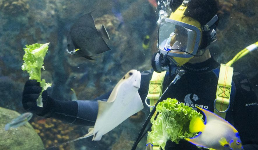 Rafael Calderon feeds fish inside the Flower Gardens exhibit at the Texas State Aquarium Monday afternoon, June 1, 2015 in Corpus Christi, Texas. (Andrew Mitchell/Corpus Christi Caller-Times via AP) MANDATORY CREDIT; MAGS OUT; TV OUT