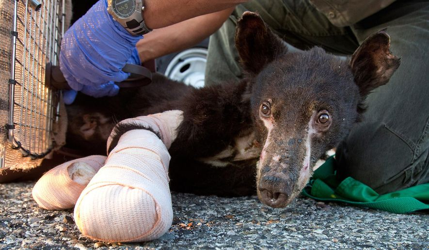 FILE - In this Aug. 4, 2014 file photo, a female bear cub with badly burned paws who had been named Cinder is put into a crate before a flight from East Wenatchee, Wash., to Lake Tahoe, Calif.   Now healed after stints at a California wildlife center and the Idaho Black Bear Rehabilitation center near Boise, she weighs about 125 pounds.  Washington state Fish and Wildlife officers plan to release Cinder on Wednesday, June 3, 2015 near Wenatchee, Wash. She'll be released with a buddy, a male cub she befriended in rehab. (Don Seabrook/The Wenatchee World via AP, File)