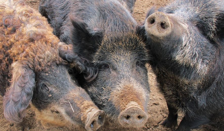 FILE--In this April 18, 2012 file photo, a Mangalitsa boar, left, and two Russian swine are shown on a farm near McBain, Mich. Known by various labels _ feral hogs, razorbacks, Eurasian and Russian wild boar. The Michigan appeals court ruled 3-0 Wednesday, June 3, 2015 in favor of wildlife managers in their effort to ban Russian boars and similar pig breeds.  (AP Photo/John Flesher)
