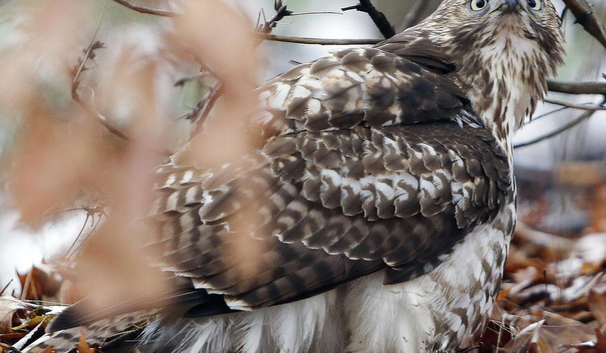 FILE - This Dec. 17, 2014, file photo, shows a red-tailed hawk in Hookset, N.H. Some New Hampshire fourth-graders whose effort to name the red-tailed hawk the official state raptor was defeated at the statehouse are aiming a little higher: the White House. (AP Photo/Jim Cole, File)