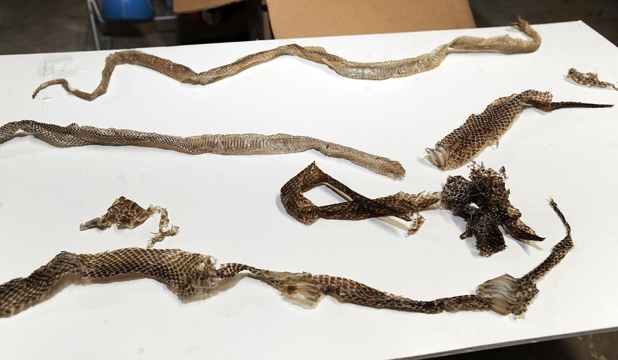 Snake skins are displayed that have found in the home purchased by Jeff and Jody Brooks, on May 27, 2015 in Beechwood, Md. The couple says their real estate agent knew their future home was infested with snakes but sold it to them anyway. The couple filed a $2 million lawsuit two weeks ago, saying their family was driven out because the home was crawling with snakes.   (Paul W. Gillespie/Capital Gazette via AP)