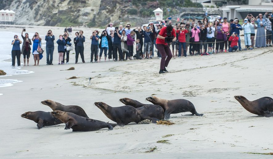 As a crowd looks on, sea lions injured by chlorine contamination at a rehab center are released in Laguna Beach, Calif., Tuesday, June 2, 2015. Police believe someone put chlorine in the water filtration system April 27, at the center, which works to rescue, rehabilitate and release sea lions.   (Mark Rightmire/The Orange County Register via AP)   MAGS OUT; LOS ANGELES TIMES OUT; MANDATORY CREDIT