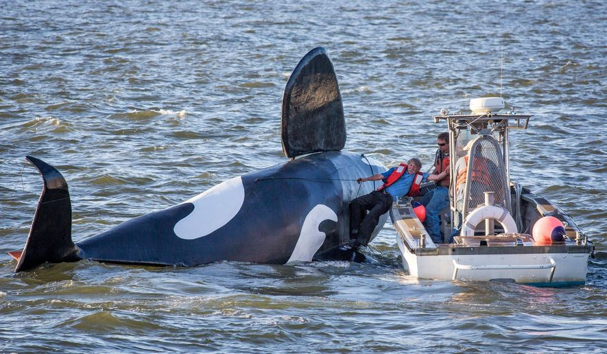 John Wifler, the pilot of the fake fiberglass orca, is pulled from the capsized vessel in the Columbia River outside of the East End Mooring Basin on Thursday, June 4, 2015,  in Astoria, Ore. An effort to use a fake orca to scare off hundreds of sea lions crowding docks off the Oregon coast has ended, at least temporarily, with the fiberglass creature belly-up after it was swamped by a passing ship. (Joshua Bessex/Daily Astorian via AP) MANDATORY CREDIT