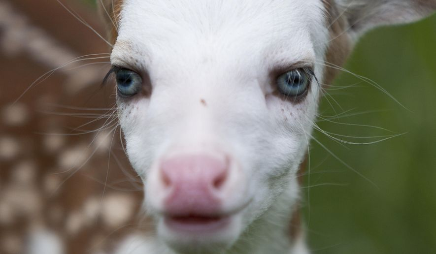 """Born recently at Deer Tracks Junction farm, the fawn, named Dragon by Powell's 19-year-old son, was unique from the start. His birth mother, """"Bunny"""" is a special type of whitetail deer known as the Piebald, which carries a genetic defect causing it to have large areas of white in its coat. The defect reportedly occurs in less than 1 percent of the whitetail deer population. Dragon was rejected by his mother after birth, likely by natural instinct because he looks different than other fawns. (Cory Morse/The Grand Rapids Press via AP)"""