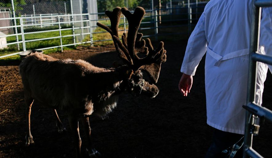 In this May 27, 2015, photo, Sven, a male reindeer, turns to follow Dr. Isaac Bott for his morning meal at Mountain West Animal Hospital in Springville, Utah. (Spenser Heaps/The Daily Herald via AP) MANDATORY CREDIT