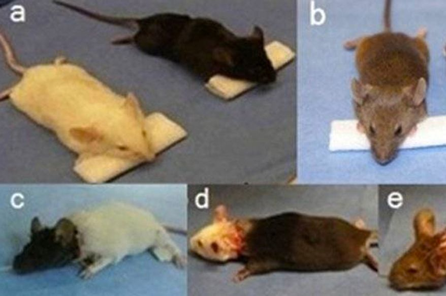 Dr. Xiaoping Ren of Harbin Medical University has performed head transplants in mice and kept them alive for up to one day. His team plans to move on to monkeys in the near future. (Image: Xiaoping Ren)