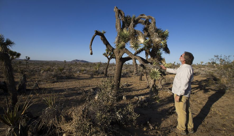 In this Wednesday, June 3, 2015, photo, U.C. Riverside ecologist Cameron Barrows inspects the dead, angular branches and drooping fronds of a drought-stricken Joshua Tree in the lower elevations, just outside the northwest corner of Joshua Tree National Park in California. Barrows plans to monitor Joshua trees' responses to climate change and drought, which will provide baseline information to help guide conservation decisions. (Allen J. Schaben/Los Angeles Times via AP)  NO FORNS; NO SALES; MAGS OUT; ORANGE COUNTY REGISTER OUT; LOS ANGELES DAILY NEWS OUT; INLAND VALLEY DAILY BULLETIN OUT; MANDATORY CREDIT, TV OUT