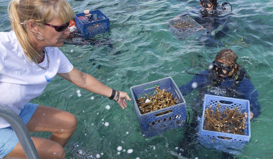 In this photo provided by the Florida Keys News Bureau, volunteers with the Coral Restoration Foundation surface with staghorn coral clippings harvested from a nursery in the Florida Keys National Marine Sanctuary, Monday, June 8, 2015, off Key Largo, Fla. About 70 CRF divers are endeavoring to harvest and plant at least 1,000 staghorn corals to help enhance six reefs off the upper Florida Keys. The project, dubbed Plantapalooza, is being staged in conjunction with World Oceans Day and if successful, will be CRF's most prolific single-day planting output. (Bob Care/Florida Keys News Bureau via AP)