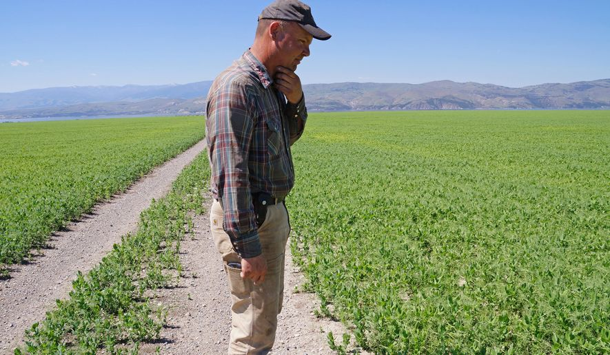 Cory Davis looks over his 760 acres of green peas east of Canyon Ferry Lake, Montana, on Monday, June 8, 2015. Scientists and the Montana Farmers Union are pointing to a correlation between a warming climate and crop pests, like the wheat stem sawfly that overran Davis' wheat field last year. (AP Photo/Alison Noon)