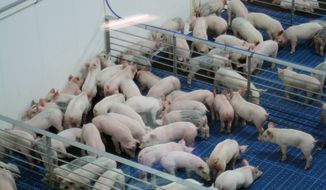 Piglets that are almost ready for sale are shown in pens at Fair Oaks Farms in Fair Oaks, Ind. (Associated Press)