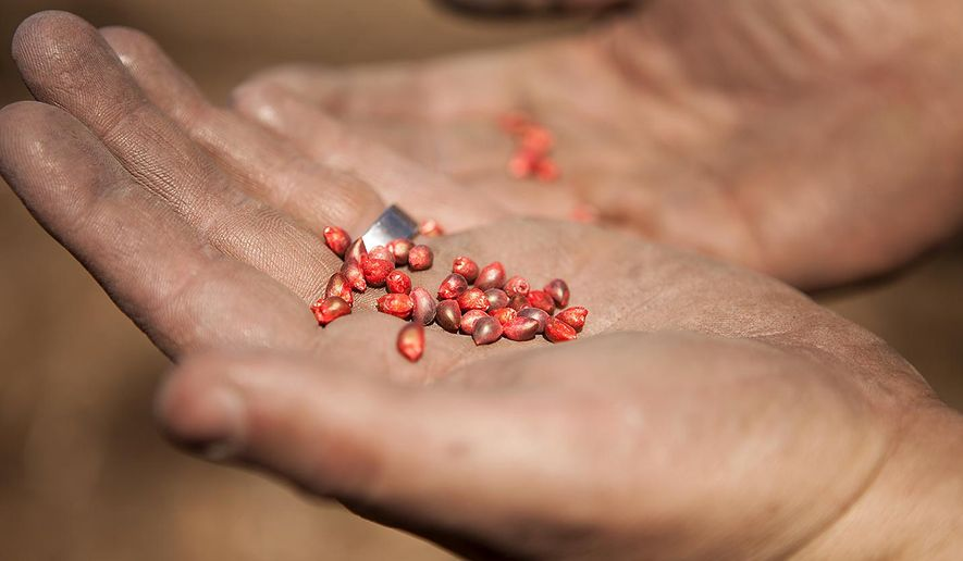 ADVANCE FOR USE SATURDAY JUNE 13, 2015, AND THEREAFTER - In this April 30, 2015 photo, Andrew Bowman of Oneida, Ill., displays a handful of Ruby Red hull-less popcorn seeds as he plants a filed at his farm northwest of town. Bowman and his wife Karlie grow, market and sell the hull-less popcorn to both HyVee stores in Galesburg, and in several stores across Illinois and Iowa. (Steve Davis/The Register-Mail via AP)