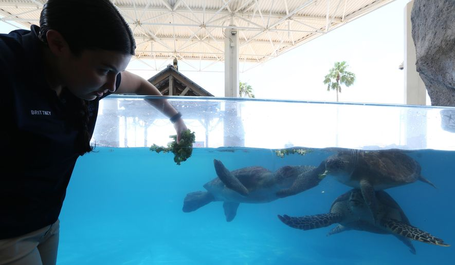 Brittney Laurel, an aquarist at the Texas State Aquarium, feeds turtles lettuce on April 29, 2015 in Corpus Christi, Texas. Each animal at the aquarium has a diet specifically designed for them. (Rachel Denny Clow/Corpus Christi Caller-Times via AP) MANDATORY CREDIT; MAGS OUT; TV OUT