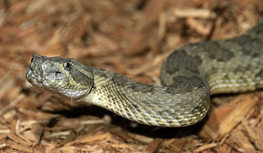 This 2009 photo from the Navajo Nation Zoo shows a rattlesnake, a part of the zoo's reptile collection in Window Rock, Ariz. (David Mikesic/Navajo Nation Zoo via AP) ** FILE **