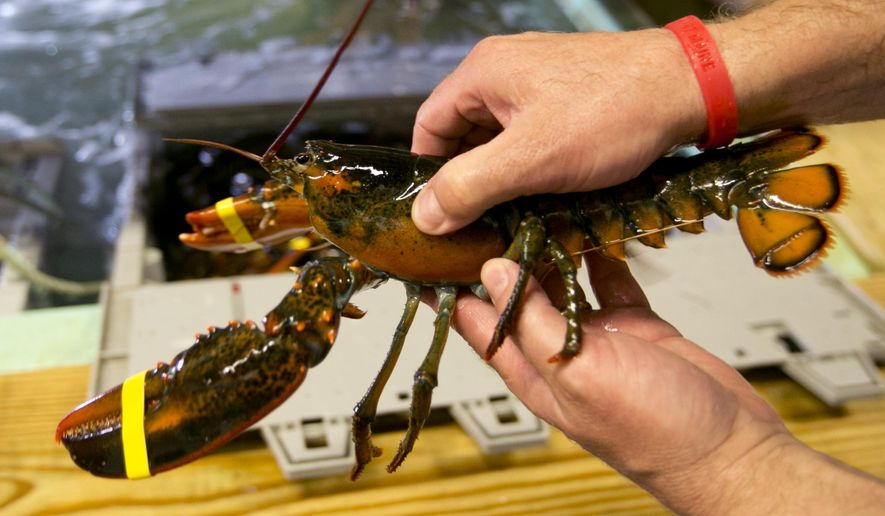 "A lobster is checked to determine if it is a hard shell or a ""shedder"", a recently molted lobster that is growing back its shell, at the Clam Shack in Kennebunkport, Maine, Friday, June 12, 2015. Softshell lobsters generally have less meat than hardshells, but dealers say it's time to play up their supposedly sweeter meat as a reason to come to Maine for the succulent crustacean. (AP Photo/Robert F. Bukaty)"