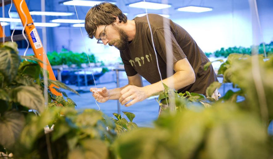 In this photo taken on Thursday, June 4, 2015, Ian Peterson attaches strings to pepper plants to keep them growing upright at Peterson Greens, a hydroponic indoor vegetable growing operation in downtown Omaha, Neb., (Rebecca S. Gratz /The World-Herald via AP) MAGS OUT; ALL NEBRASKA LOCAL BROADCAST TELEVISION OUT