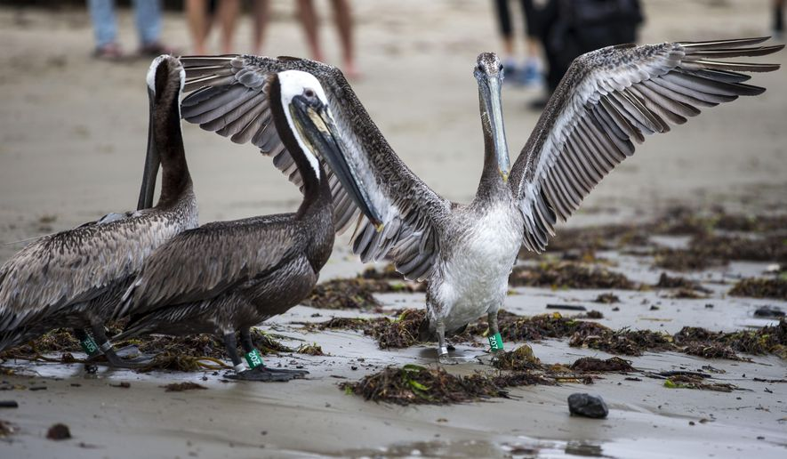 One of 10 rehabilitated brown pelicans being released stretches its wings after being let out of the carrying cage by Julia Parker, director of the Santa Barbara Wildlife Care Network at Goleta Beach on Friday, June 12, 2015 in Goleta, Calif.  The Pelicans were rehabilitated at the Los Angeles Oiled Bird Care and Education Center in San Pedro by the UC Davis Oiled Wildlife Care Network and The California Department of Fish and Wildlife's Office of Spill Prevention and Response.  (Kent Nishimura/Los Angeles Times via AP)  NO FORNS; NO SALES; MAGS OUT; ORANGE COUNTY REGISTER OUT; LOS ANGELES DAILY NEWS OUT; INLAND VALLEY DAILY BULLETIN OUT; MANDATORY CREDIT, TV OUT