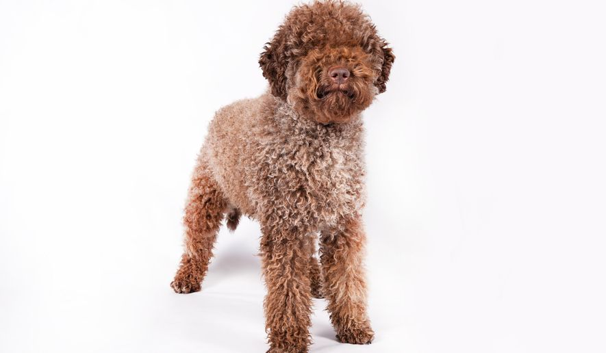 This December 2012 photo provided by the American Kennel Club shows a lagotto Romagnolo dog in Orlando, Fla. The lagotto Romagnolo, the berger Picard and the miniature American shepherd are joining the American Kennel Club's roster of recognized dog breeds and will be eligible as of July 1, 2015, to compete in the AKC's shows, the organization announced Monday, June 15. That means they could appear at the prestigious Westminster Kennel Club dog show as soon as next year. (Thomas Pitera/American Kennel Club via AP)