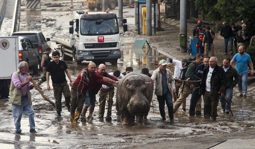 A Sunday, June 14, 2015, file photo of people assisting a hippopotamus that has been shot with a tranquilizer dart after it escaped from a flooded zoo in Tbilisi, Georgia, Sunday, June 14, 2015. (AP Photo/Tinatin Kiguradze, File)