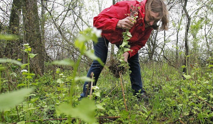 In this May 5, 2015, photo, Cathy Cagle picks an invasive garlic mustard plant in the backyard of her home in Crystal Lake, Ill. Cagle says there are many uses for the plant, including sauces and pestos. Experienced foragers can be another helpful resource on what to pick and where it is legal to forage, said Cagle, the organizer of a meetup.com group dedicated to foraging and herbs. (Matthew Apgar/Northwest Herald via AP)  CHICAGO TRIBUNE OUT, MANDATORY CREDIT