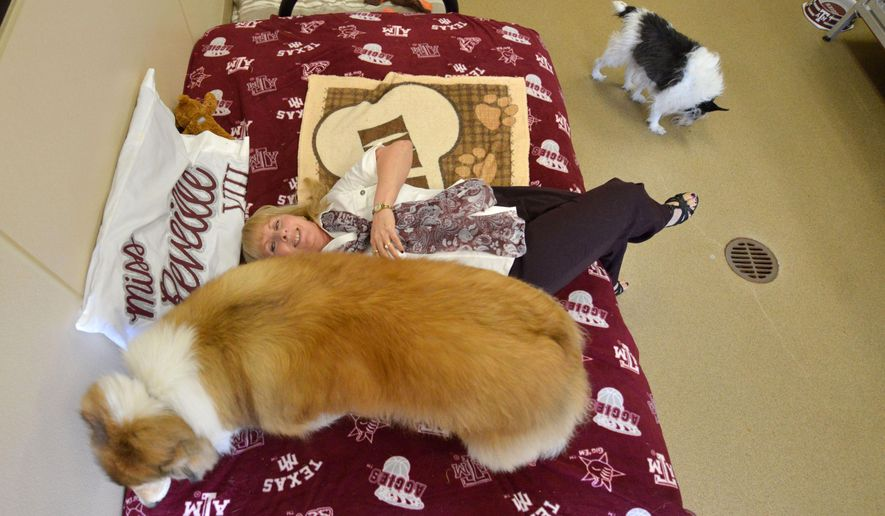 """ADVANCE FOR MONDAY JUNE 22 AND THEREAFTER - In a Wednesday, June 10, 2015 photo, Reveille VIII looks for a spot to laydown on her futon as Ellie Greenbaum of the Stevenson Companion Animal Life Care Center rubs her side, in College Station, Texas. Greenbaum says that on most days Reveille can be found at the front door greeting guests or roaming around the facility interacting with staff and other dogs like her best friend """"Cricket"""" pictured here as well and that she believes that Rev is really enjoying her retirement from her mascot duties.  (Sam Craft/The Bryan-College Station Eagle via AP)"""