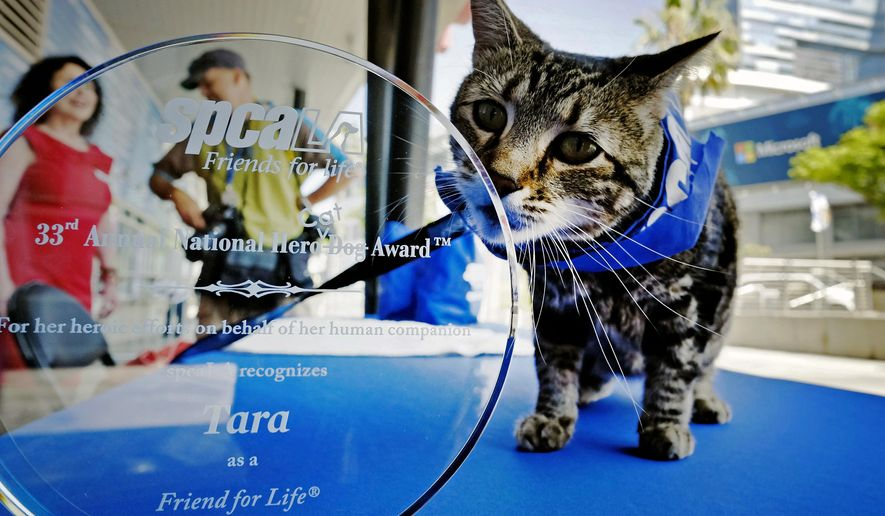 Tara, a 7-year-old adopted cat poses for a photo with her award prior to being presented with the 33rd Annual National Hero Dog Award in Los Angeles, Friday, June 19, 2015. In May of last year, Tara fought off a dog that attacked her 6-year-old owner as he rode his bicycle in the driveway of his Bakersfield home. (AP Photo/Richard Vogel)