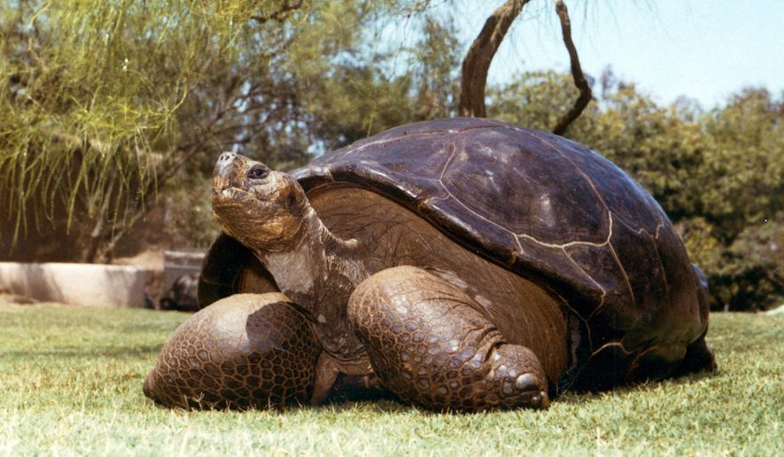 This undated photo from the San Diego Zoo shows Speed, a Galapagos tortoise that has been at the zoo since 1933. The zoo reported Friday, June 19, 2015 that Speed had been euthanized at an estimated age of more than 150 years. The massive tortoise had been in geriatric decline for some time. He was brought to California as part of an early effort to preserve the endangered species from the Volcan Cerro Azul Island of the Galapagos Islands, off Ecuador. (San Diego Zoo via AP)