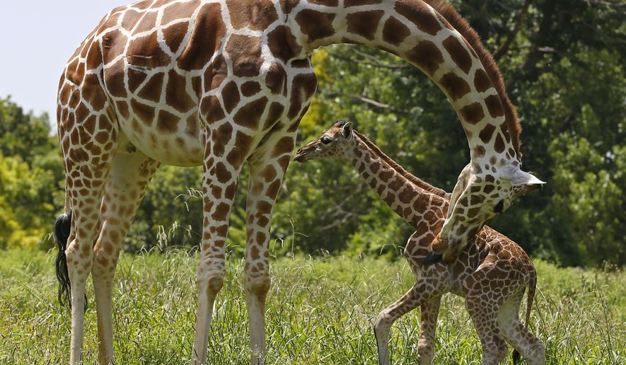 A female giraffe calf, born on Monday, stands with her mother Ellie at the Oklahoma City Zoo, Tuesday, June 23, 2015, in Oklahoma City. (AP Photo/Sue Ogrocki)