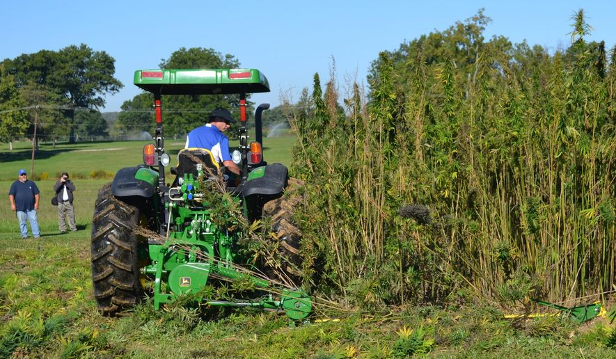 FILE - In this Sept. 23, 2014, file photo, a tractor cuts a small plot of hemp at a University of Kentucky research plot near Lexington, Ky. While Minnesota may not be as ambitious as Kentucky, where agriculture officials have said their goal is to make the state synonymous with hemp like Idaho with potatoes, the once-banished crop could soon sprout legally again in select the state's farm fields. Minnesota lawmakers approved a bill this month making theirs the latest among an expanding network of states to reconsider the commodity potential of the cannabis cousin to marijuana. (AP Photo/Dylan Lovan, File)
