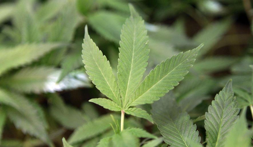 This Feb. 1, 2011, file photo shows medical marijuana clone plants at a medical marijuana dispensary in Oakland, Calif. (AP Photo/Jeff Chiu, File)