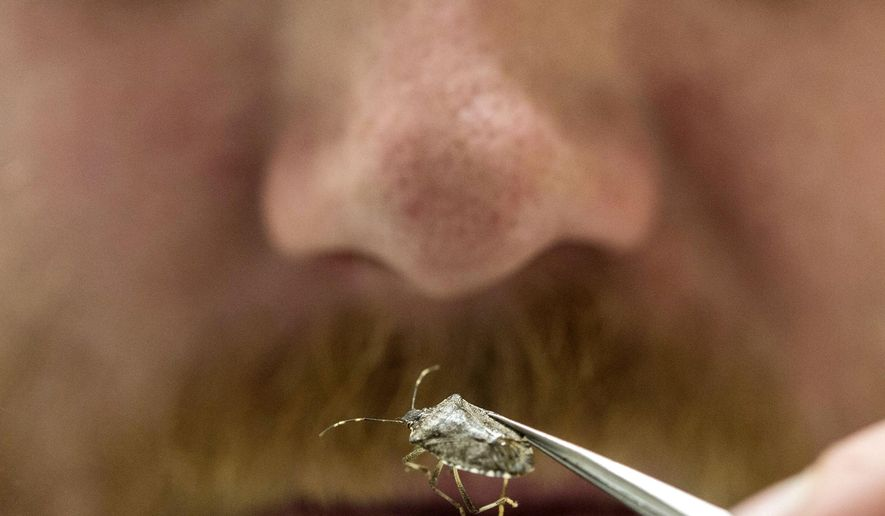 In this May 11, 2015 photo, Lee Ream, a chemist at the U.S. Agricultural Research Service Laboratory, inspects a brown marmorated stink bug in Wapato, Wash. As climate change unfolds in an increasingly interconnected world, the warmer weather forecast for the decades ahead could make the Northwest a more welcoming region for the stink bug. (Steve Ringman/The Seattle Times via AP)