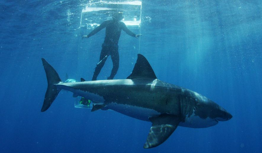 In this 2015 photo provided by Discovery Channel, a great white shark researcher stands in the clear shark cage while a great white shark swims by.