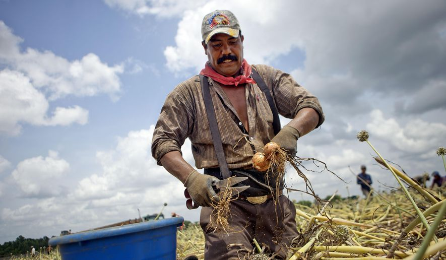 FILE - In this June 10, 2013 file photo, guest worker Vegelio Sausera pulls Vidalia onions while harvesting a field in Lyons, Ga. Georgia's agriculture commissioner can set a packing date for the state's famed Vidalia onions, an appeals court ruled Tuesday, June 30, 2015. (AP Photo/David Goldman, File)