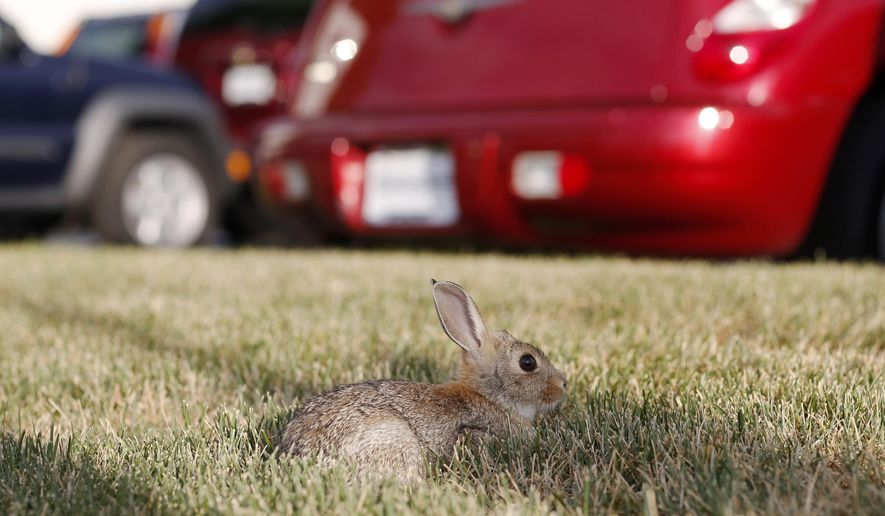 In this July 5, 2015, photo, a rabbit dines on the lawn surrounding a car dealership in Littleton, Colo. A damp spring has provided rabbits with ample food supplies and, as a result, has increased the population of rabbits which, in turn, has upped the risk for a relatively rare bacterial disease in the state-tularemia, or rabbit fever. (AP Photo/David Zalubowski)