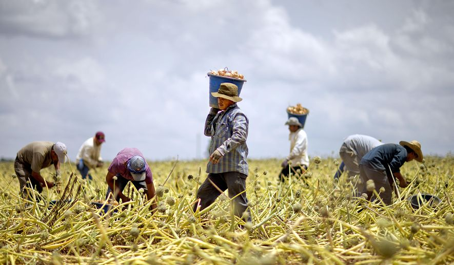 In this June 10, 2013, photo, guest workers harvest a Vidalia onion field in Lyons, Ga. (AP Photo/David Goldman) **FILE**