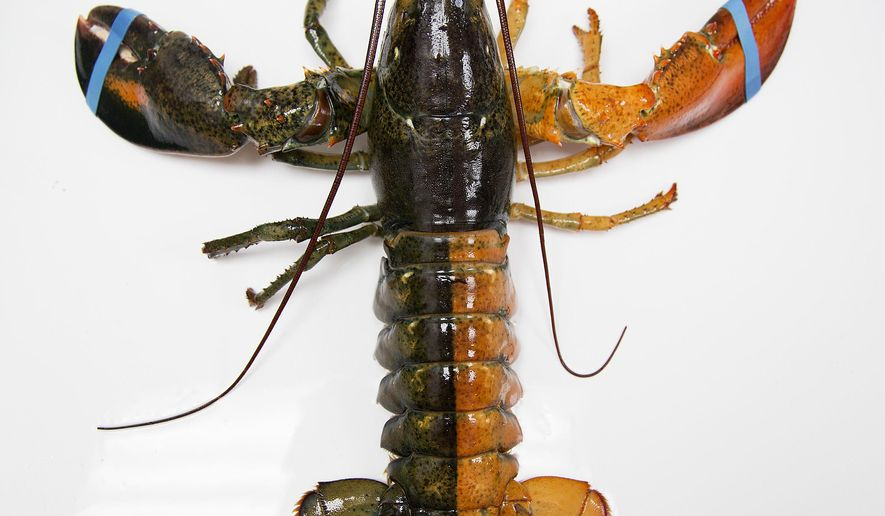 A Monday, July 6, 2015 photo shows a rare orange-brown split colored lobster that arrived recently at the Pine Point Fisherman's Co-Op in Scarborough, Me.  According to research by the Lobster Institute, the chances of finding a split colored lobster is one in 50 million. Only the albino lobster, one in 100 million, is rarer than the split-colored lobster, according to the institute. (Yoon S. Byun/Portland Press Herald via AP) ONLINE OUT, ARCHIVE OUT