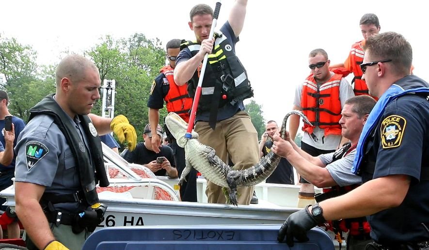 NJDEP Division of Fish & Wildlife along with local police and fire rescue transfer an alligator after it was captured in the Passaic River in Elmwood Park, N.J., Wednesday, July 8, 2015. The gator was not harmed in the capture and appears to be in good condition. It was handed over to the state Fish and Wildlife Division, who will now try to find it a safe, permanent home. (Thomas E. Franklin/The Record of Bergen County via AP) ONLINE OUT; MAGS OUT; TV OUT; INTERNET OUT;  NO ARCHIVING; MANDATORY CREDIT