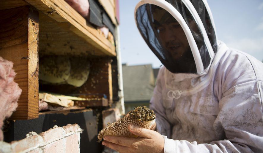 American Honey Bee Protection Agency bee keeper Michael Hanan removes a honeycomb and looks for a queen bee during an extraction in Houston, Wednesday, July 8, 2015. (Marie D. De Jesus/Houston Chronicle via AP) MANDATORY CREDIT:  MARIE D. DE JESUS / HOUSTON CHRONICLE - MARIE.DEJESUS@CHRON.COM