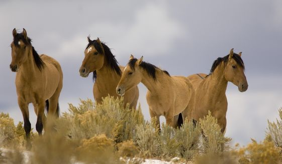 In this Oct. 17, 2007, file photo, Kiger Mustangs from the Kiger Management Area near Diamond in southeast Oregon are shown.  Wild horse advocates are challenging U.S. Bureau of Land Management plans to round up the famous Kiger and Riddle Mountain mustang herds in eastern Oregon, arguing that the roundup is designed to breed a master race of wild horses exhibiting old Spanish bloodlines, violating the intent of the law protecting wild horses. (Jamie Francis/The Oregonian via AP, file)  MANDATORY CREDIT