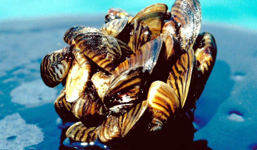 "FILE - This undated file photo provided by the U.S. Department of Agriculture shows a group of zebra mussels. Young zebra mussels have been found in the Red River at several locations downstream from Wahpeton, N.D., for the first time. North Dakota's Game and Fish Department says a June 2015  survey found a ""significant"" number of zebra mussel larvae at Wahpeton, Abercrombie, Fargo, Grand Forks, Drayton and Pembina. (U.S. Department of Agriculture via AP, File)"