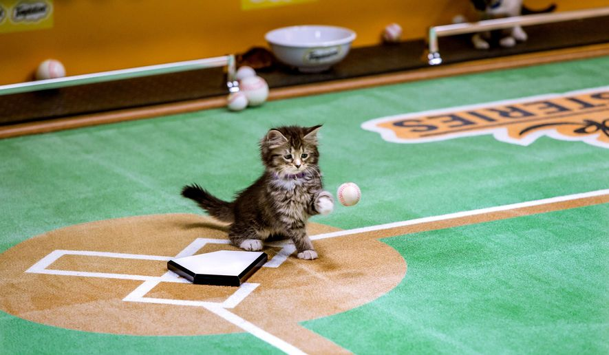 """This October 2014 photo provided by Crown Media United States shows Fluffy Frisky, at Paw Star Stadium in New York. The kittens of summer will take the field for the world premiere of Hallmark's """"Paw Star Game"""" on July 12, 2015, three days before the boys of summer hold their annual classic. More than 90 kittens from a pair of New York shelters, North Shore Animal League America and Last Hope Animal Rescue and Rehabilitation, were adopted during taping. (Marc Lemoine/Crown Media United States via AP)"""