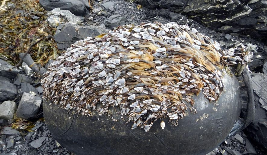 This undated photo provided by the Alaska Department of Environmental Conservation, shows pelagic gooseneck barnacles (Lepas anatifera) established on a buoy off the Gulf of Alaska. The barnacles are native, open-ocean barnacles; the most common and abundant organism observed on marine debris. A massive cleanup effort is getting underway in Alaska, with tons of marine debris, some likely sent to sea by the 2011 tsunami in Japan, set to be airlifted from rocky beaches and taken by barge for recycling and disposal in the Pacific Northwest. (Alaska Department of Environmental Conservation via AP)