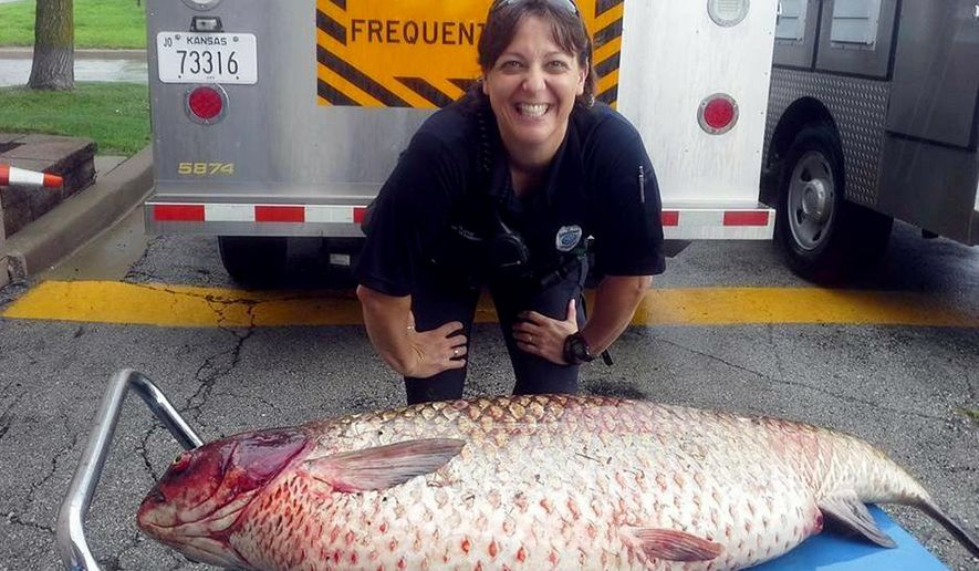 This July 10, 2015 photo provided by the Olathe, Kansas, Police Department shows Officer Jamie Schmidt with a big grass carp she found in a drainage ditch near a lake in an Olathe subdivision. Schmidt says she was skeptical when a man called to report the dead fish, but soon found herself wrapping a a 3 1/2-foot-long, 60-poung carp and using a lift to get in into her trunk. (Vicki Hudson/Olathe Police Department via AP)