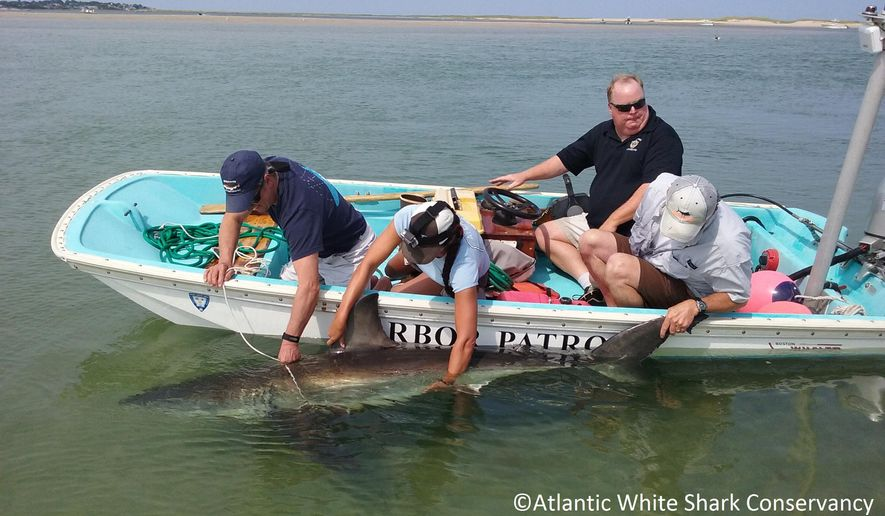 In this Monday, July 13, 2015 photo provided by Atlantic White Shark Conservancy, a great white shark is led back into the water near South Beach in Chatham, Mass. Beachgoers kept the shark, that was stuck on the beach, wet by splashing it with buckets of water until officials attached a line to its rear caudal fin and Harbormaster Stuart Smith pulled it back into open waters. (Atlantic White Shark Conservancy via AP)