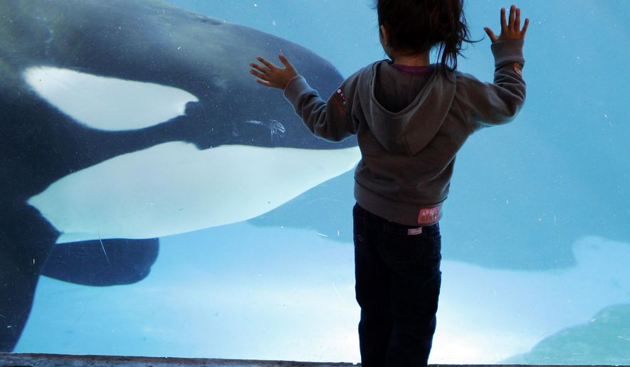FILE  - In this file photo taken on Nov. 30, 2006, a young girl watches through the glass as a killer whale passes by while swimming in a display tank at SeaWorld, in San Diego. SeaWorld suspended an employee accused of posing for years as an animal-rights activist and trying to incite violence among peaceful protesters, company officials said, Wednesday, July 15, 2015. (AP Photo/Chris Park, File)