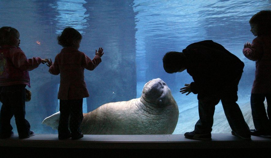 In this Oct. 22, 2015 photo, visitors look at E.T., a walrus at Point Defiance Zoo & Aquarium in Tacoma, Wash. Officials at a Tacoma zoo say the much-loved 33-year-old walrus has died after surgery, Thursday, July 16, 2015. (Alan Berner/The Seattle Times via AP)