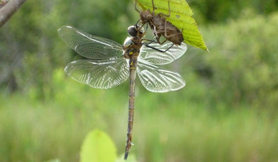 In this 2015 photo provided by Daniel Soluk, an adult Hine's emerald dragonfly hangs from the skin of the last larval stage from which it just emerged at the Mud Lake Wildlife Area in Baileys Harbor, Wis. A number of the federally endangered insects that were raised at a South Dakota laboratory over the past several years are being released at a forest preserve in Illinois in July 2015. (Daniel Soluk via AP)