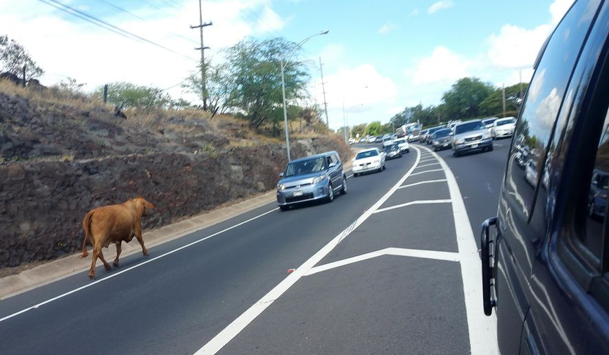 This July 16, 2015, photo provided by Sarah Nylander, a cow that had escaped its pasture approaches cars backed up on Farrington Highway, in Honolulu, Hawaii, causing major delays. Honolulu police shot and killed the cow that had escaped its pasture and was wandering around the highway. (Sarah Nylander/EPIX Mobile Auto Repair via AP)